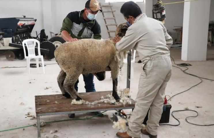 Capacita SDR a productores sobre trasquilado de ovejas